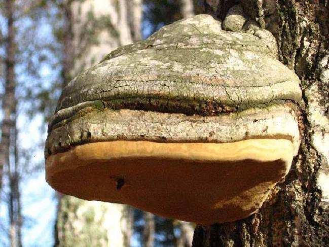 Березовый гриб на дереве