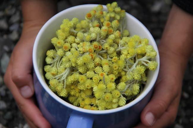 Цветки бессмертника в чашке